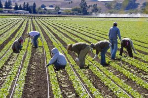 farm workers weeding spinach